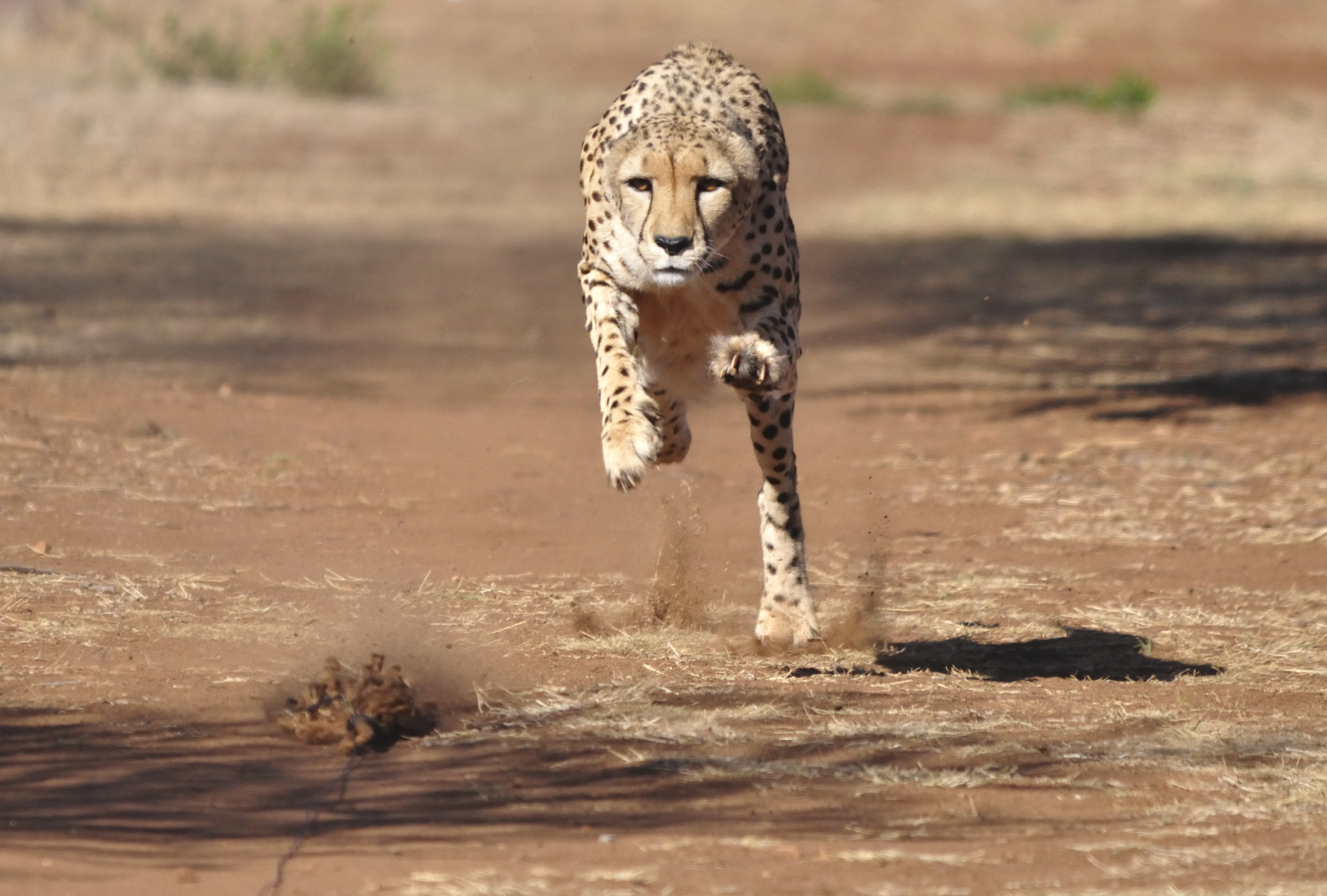 A cheetah running represents the agility a company gains from a strategy network