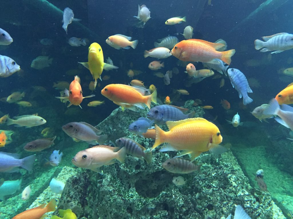 Underwater view inside of a fish tank filled with many different colors of fish